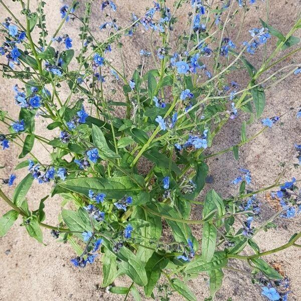 Kesälemmikki eli Tiibetin koirankieli - Cynoglossum amabile - Kinesk förgetmigej frön - siemenet.