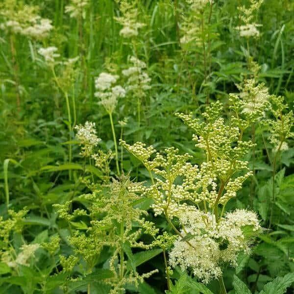 Mesiangervo - Filipendula ulmaria - Älggräs - Luonnonkukkien siemenet.