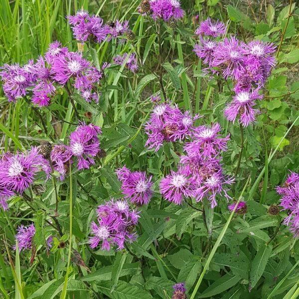Nurmikaunokki - Centaurea phrygia - Ängsklint - Luonnonkukkien siemenet