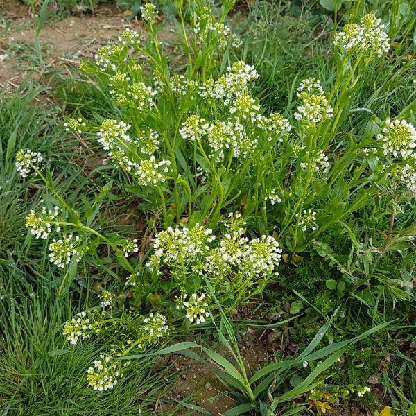 Peltotaskuruoho - Thlaspi arvense - Penninggräs frön - siemenet.