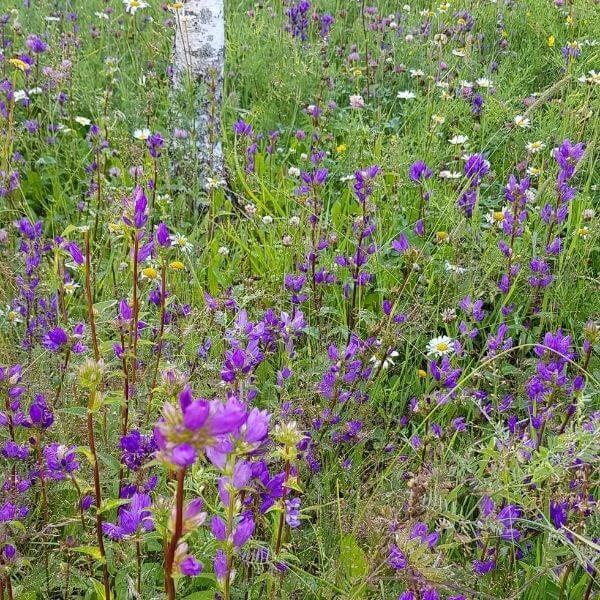Peurankello - Campanula glomerata - Toppklocka frön - Luonnonkukkien siemenet.