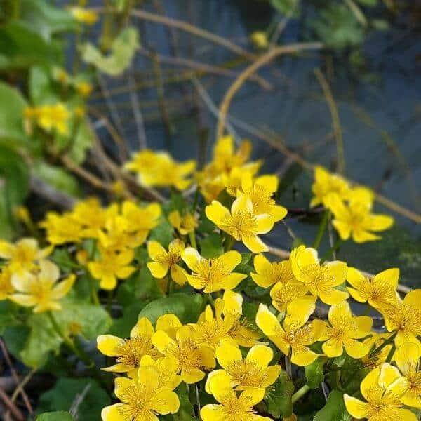 Rentukka eli luhtarentukka - Caltha palustris - Kalvleka frön - Luonnonukkien siemenet.