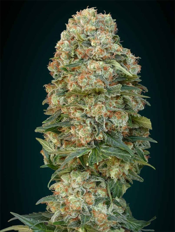 afghan-Skunk-Advanced-Seeds