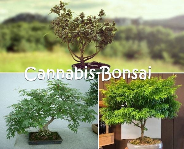 Cannabis-Bonsai-1