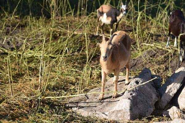 goats are cleaning up weeds in a rocky area of land