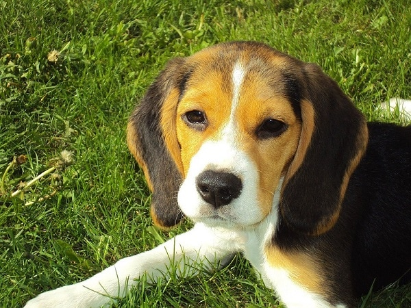 Photo of Are You Planning to get a Beagle? Here's What You Should Know
