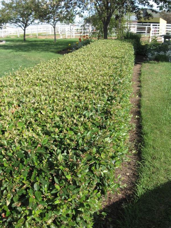 Peking Hedge Cotoneaster Full Shrub