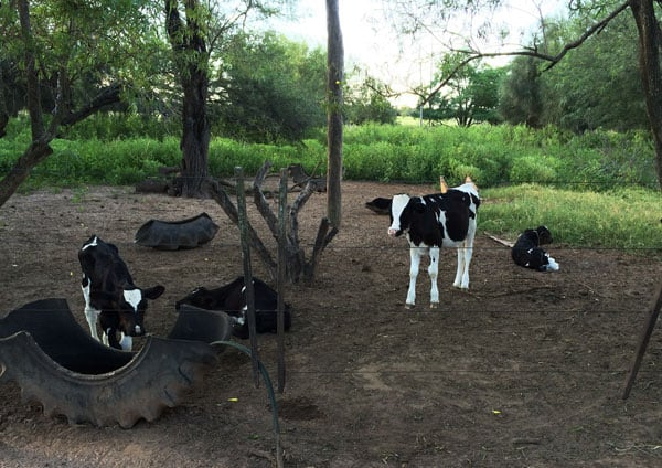 Calves in Paraguay