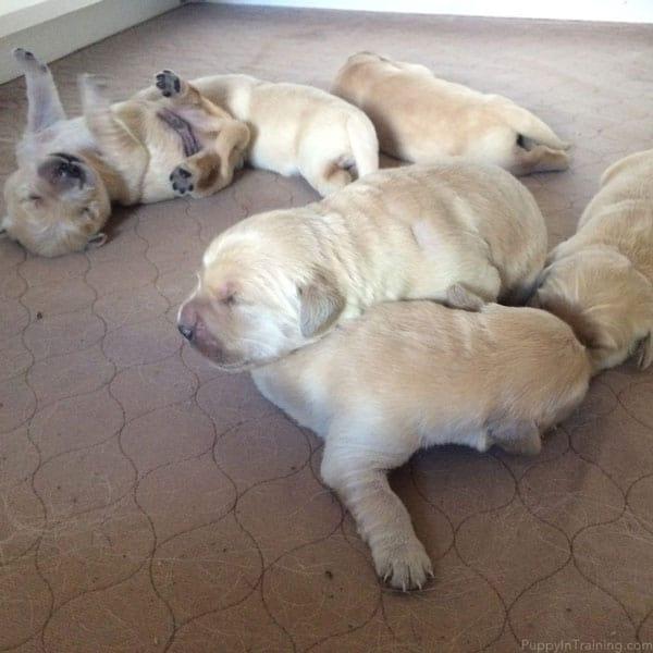A Golden Retriever Puppy Pile!