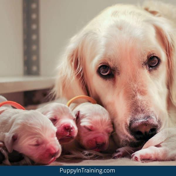 Our litter of Golden Retriever Puppies Week One