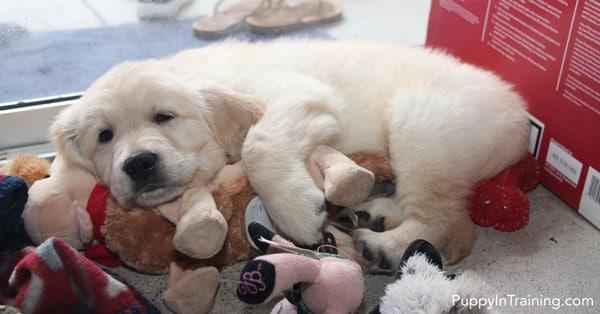 Puppy temperament testing is tiring!