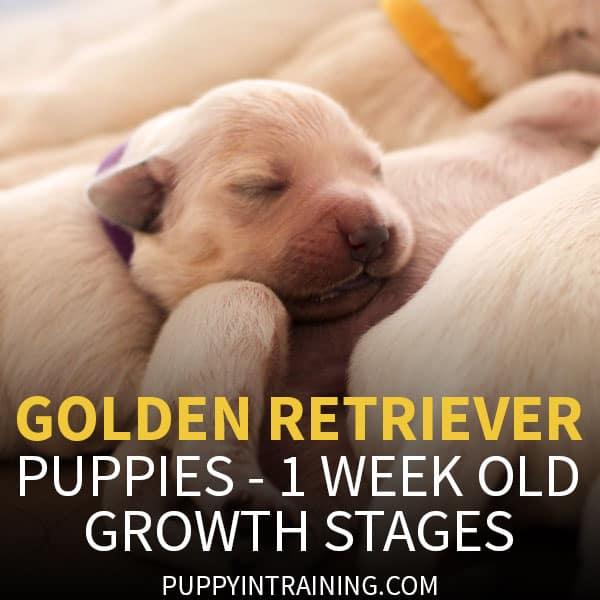 One Week Old Golden Retriever Puppies