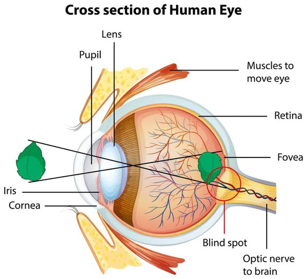 Diagram showing the eye and why don't we see things upside down