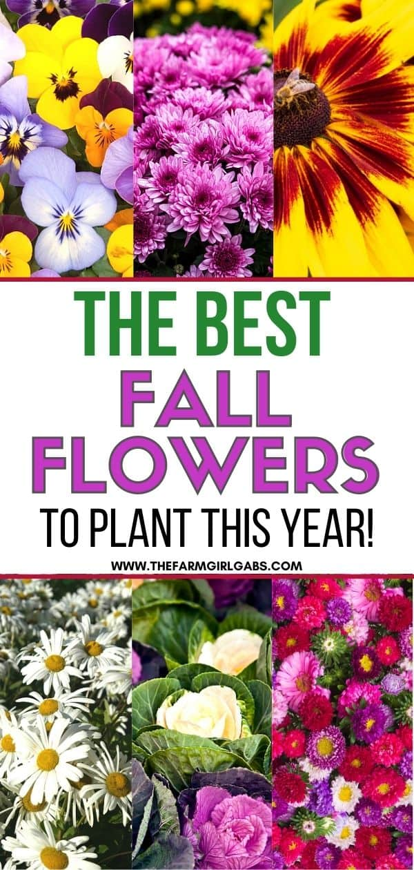 Fall gardening is here! Add some beautiful color to your flower gardens this fall. These Six Fantastic Fall Flowers To Plant In Your Garden can withstand those chilly nights and bring vibrant colors to any fall day!  These fall gardening ideas will add beauty to your yard. Be sure to check out these easy gardening tips.