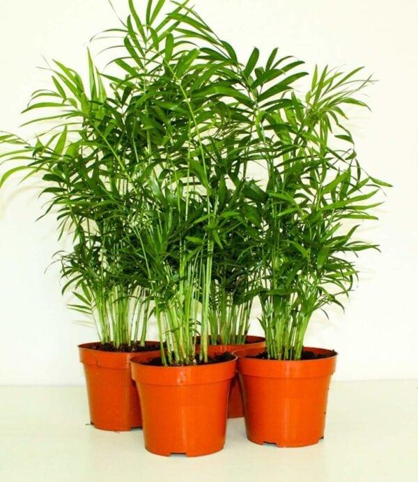 Chamaedorea Mini Palm