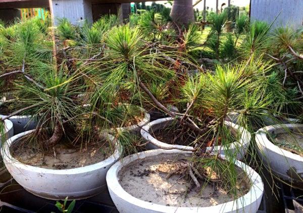 Black Pine Bonsai – 7 Year old