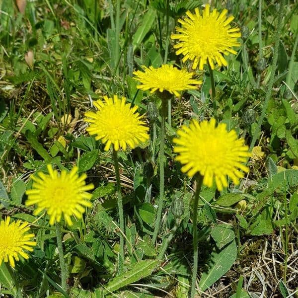 Huopakeltano eli huopavoikeltano - Pilosella officinarum - Gråfibbla frön - siemenet.