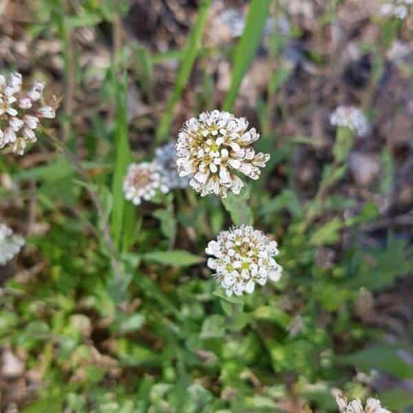 Kevättaskuruoho - Thlapsi caerulescens - Backskärvfrö frön - siemenet.