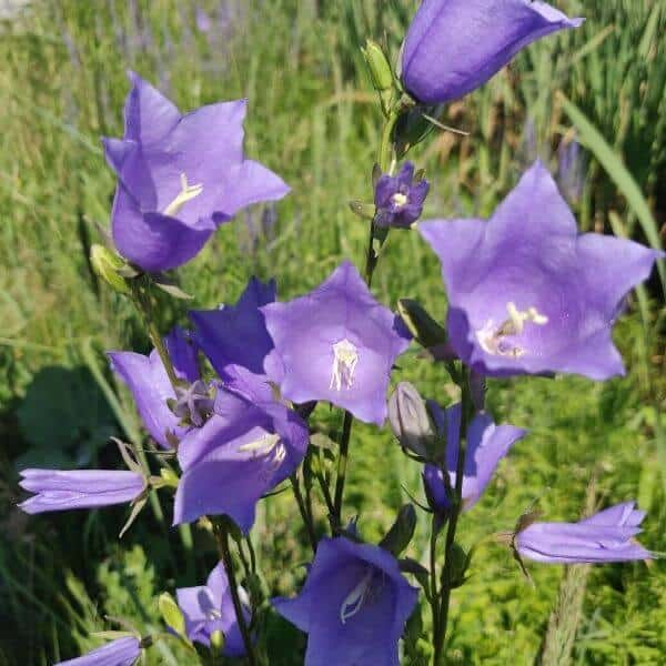 Kurjenkello - Campanula persicifolia - Stor blåklocka frön - Luonnon perennojen siemenet.