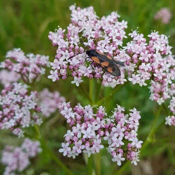 Rohtovirmajuuri - Valeriana officinalis - Läkevänderot frön - Luonnonkukkien siemenet.
