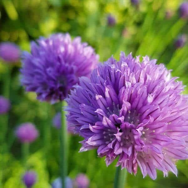 Ruoholaukka eli ruohosipuli - Allium schoenoprasum - Gräslök frön - Kukkien siemenet.