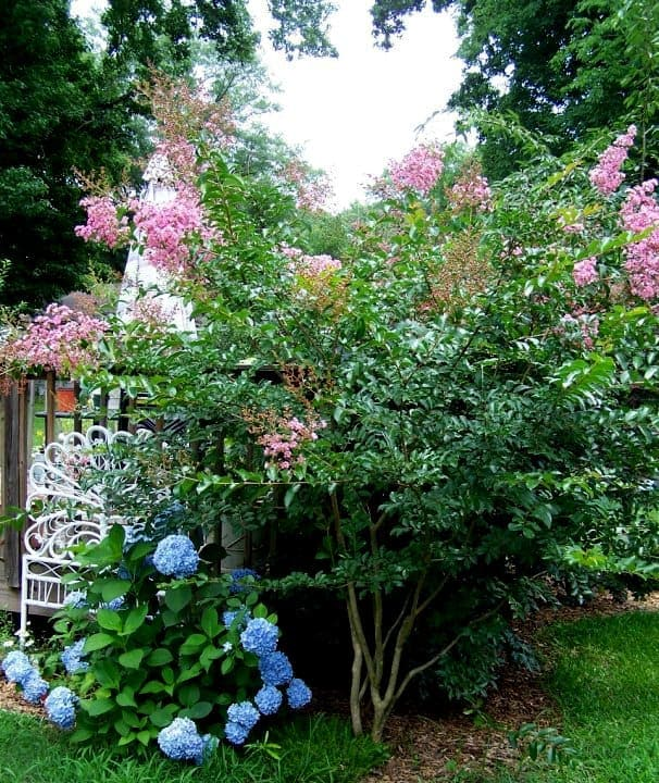 10' tall light pink Crepe Myrtle