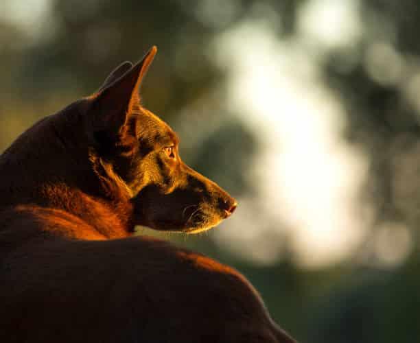 kelpie hond