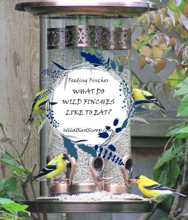 """A picture of 4 golden finches eating at a bird feeder with text that reads """"feeding finches what do wild finches like to eat?"""""""