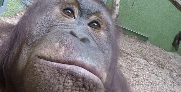 Orangutans shoot a video and make selfie in Blackpool zoo