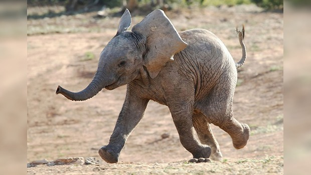 smiling baby elephant