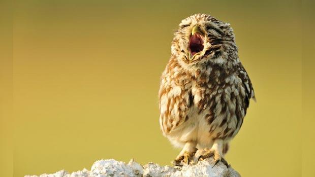 Yawning owl