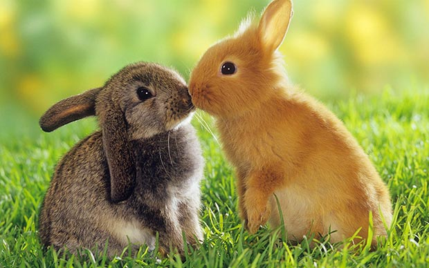 Wild life kiss: rabbits