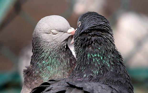 Wild life kiss: pigeons