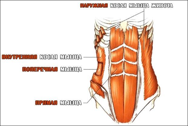 Анатомия мышц живота наглядно