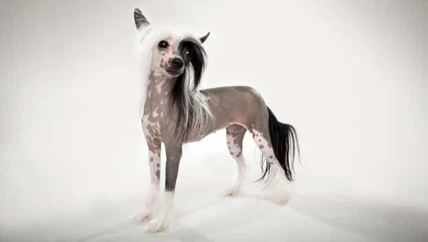 Chinese naakthond