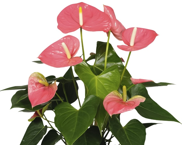 Colorado anthurium