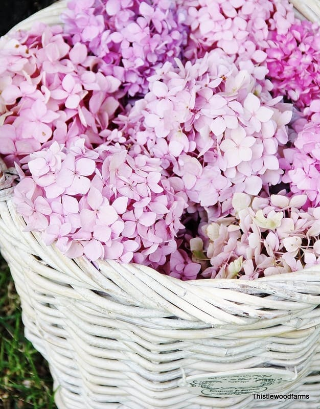 This basket of hydrangeas are blooming and bright under the summer sun.