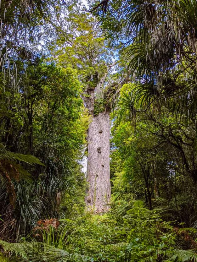 Tane Mahuta, largest kauri tree in New Zealand in waipoua forest