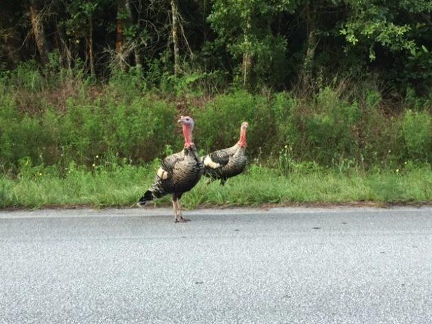 wild turkeys on a Florida road.