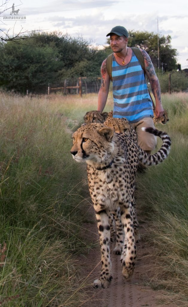 Geparden mit Animalperson - Sebastian Hilpert