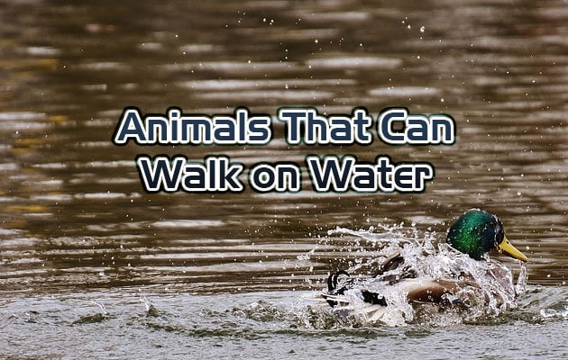 Photo of Animals That Can Walk on Water