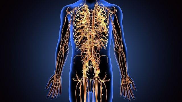 Das periphere Nervensystem (PNS) (z.B. den Spinalnerven) besteht aus allen Nerven außerhalb des zentralen Nervensystem (Gehirn und Rückenmark). Das PNS übernimmt die Aufgaben der Wahrnehmung sensorischen Signale der Umwelt sowie die unwillkürliche als auch willkürliche Motorik.