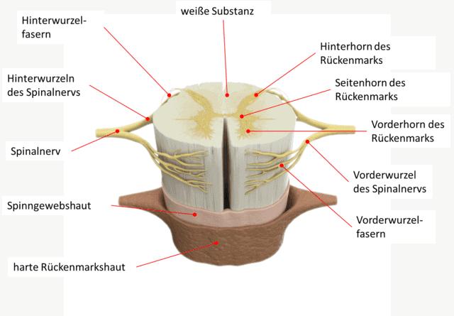 Das Rückenmark besteht neben der direkt in der weißen Substanz verlaufenden Nerven auch aus seitlich auslaufenden Nervenwurzel, die zu einem Spinalnerv zusammen laufen.