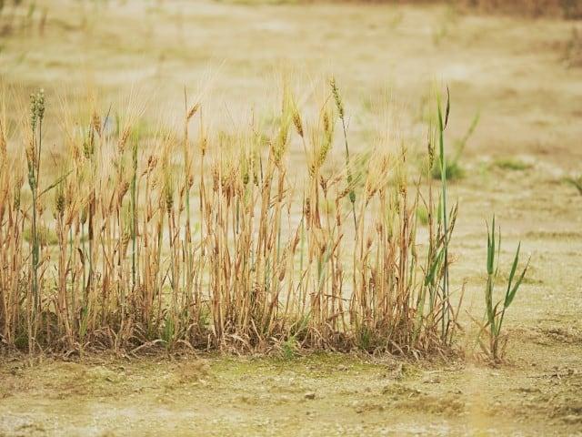 Poor wheat harvest