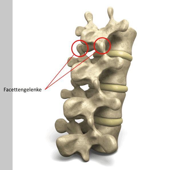 Die Facettengelenke bilden durch die obere und untere Gelenkhälfte ein echtes Gelenk welches eine Krümmung und Beugung der Wirbelsäule erlaubt.