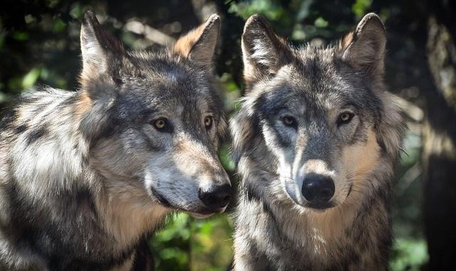 conte des deux loups. 2 heures pour