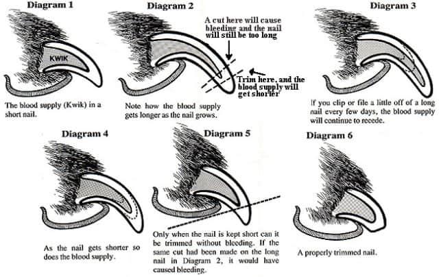 How to Trim Dog Nails Diagram
