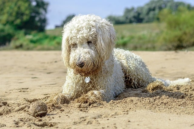 Golden doodle lab labrador golden retriever poodle breed which is better