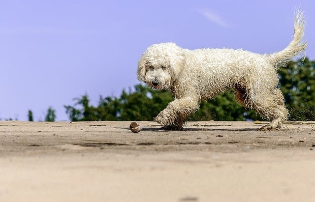 Golden doodle playing beach ball personality more personable friendly breed