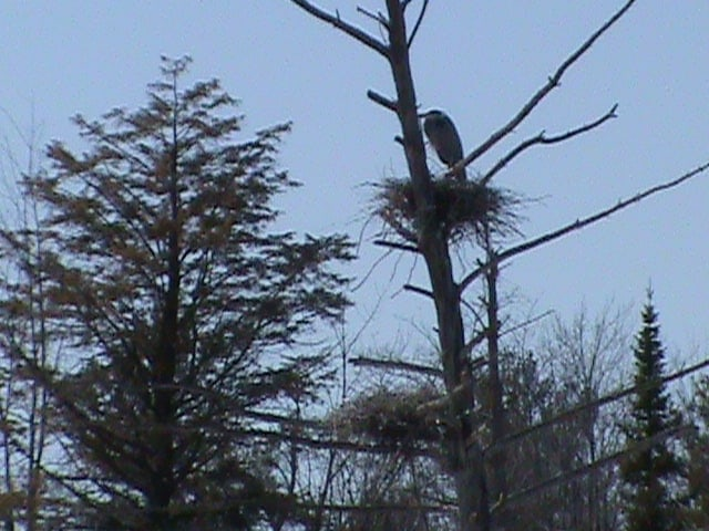 great blue heron nesting habit is a rookery